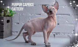 Barin PurPur Caprice
