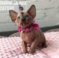 Alice PurPur Caprice