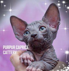 Yakira PurPur Caprice