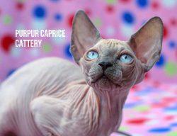 Yoey PurPur Caprice