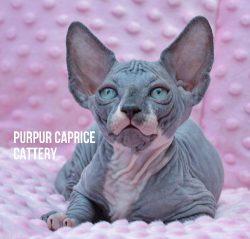 Yunona PurPur Caprice