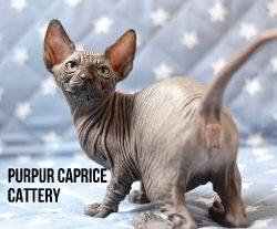 Dana PurPur Caprice