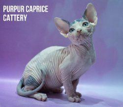 Giselle PurPur Caprice-g 02