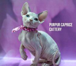 Gwen PurPur Caprice-g 32 02