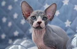 Kitty PurPur Caprice