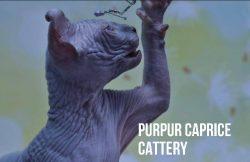 Х-Ray  PurPur Caprice