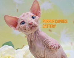 Zahar PurPur Caprice Окрас e