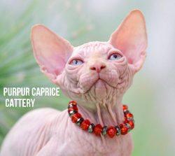 Zefir PurPur Caprice
