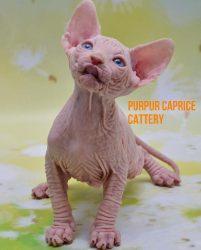 Zeus PurPur Caprice